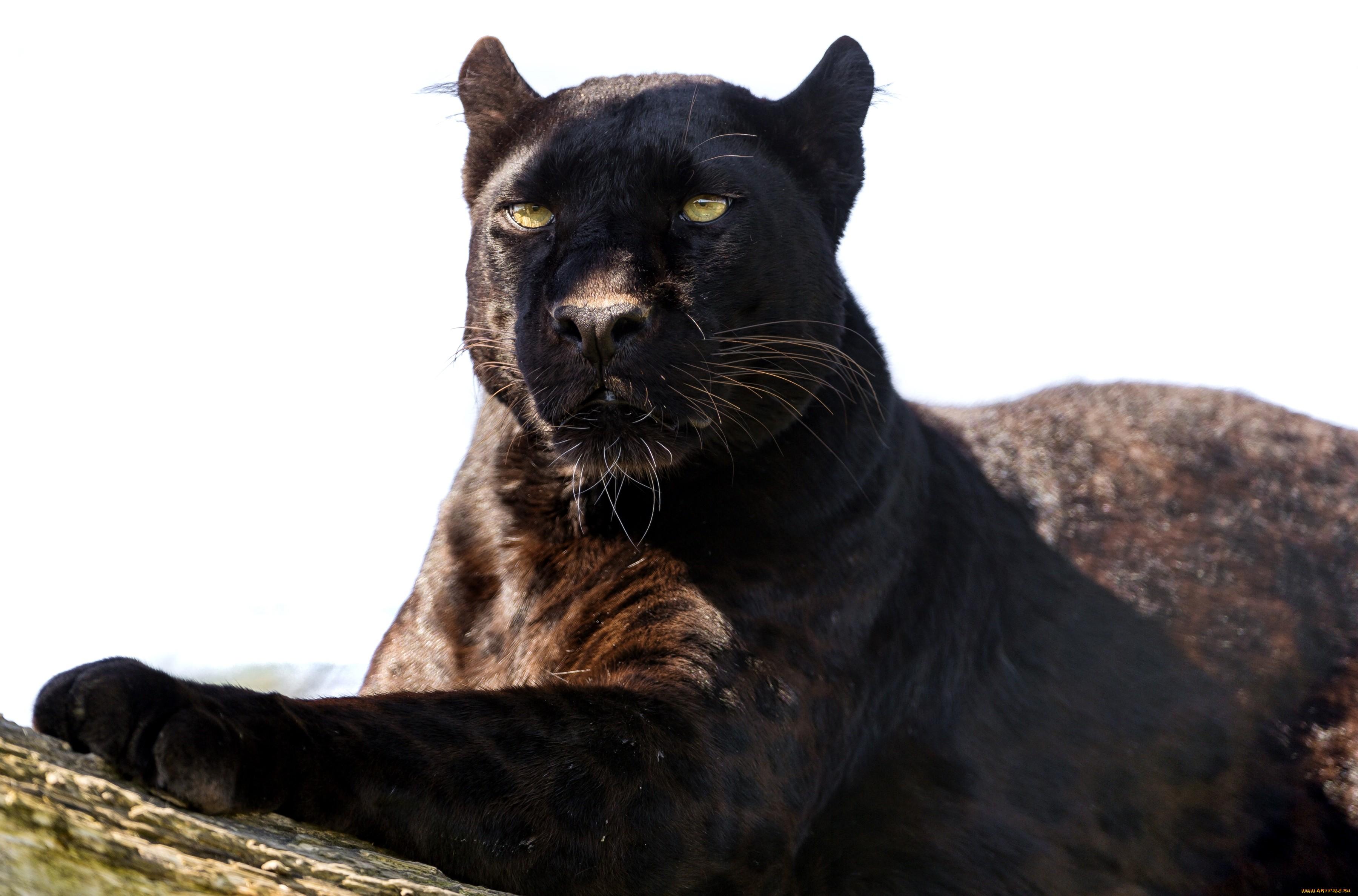 всего смотреть картинки животных пантера красиво