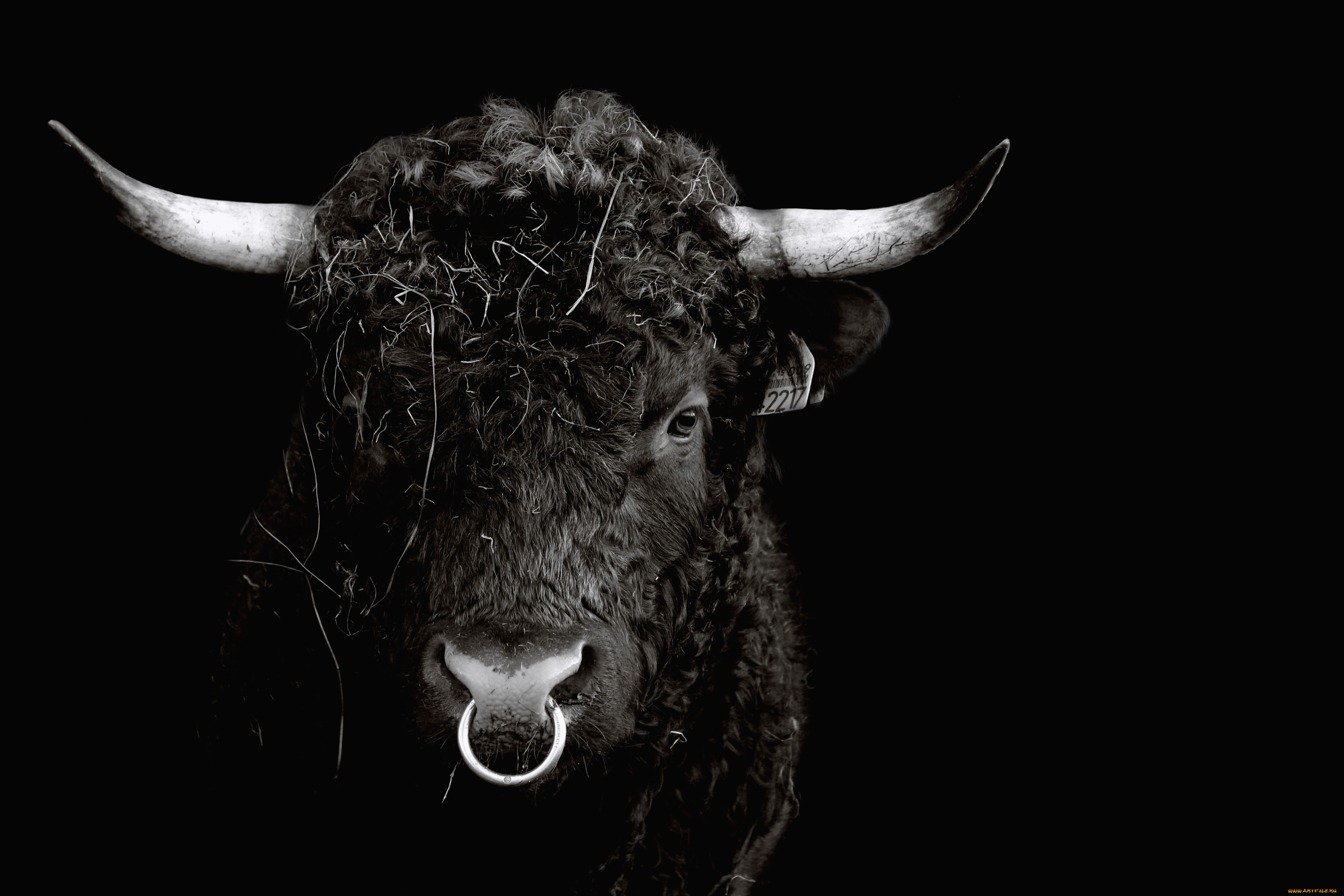 фото быков на рабочий стол этой статье расскажем