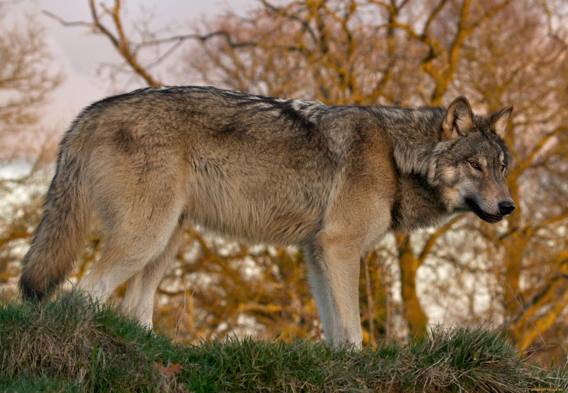Волк фото прикольные картинки сказочные граненые