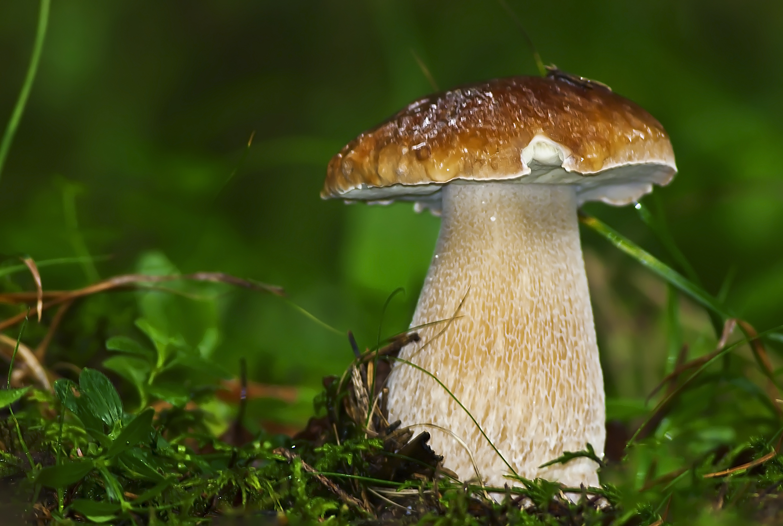 Картинка гриба белый гриб