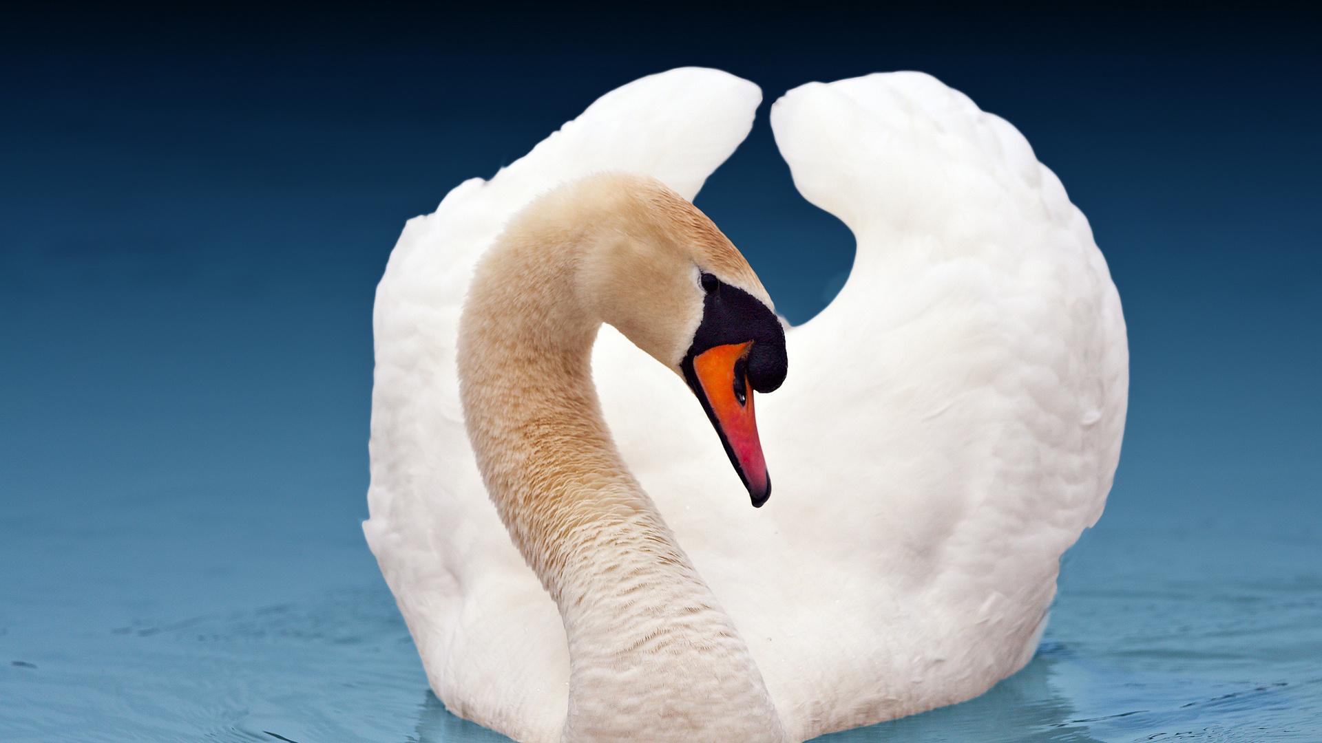 воспитание картинки необычных лебедей спросить тех