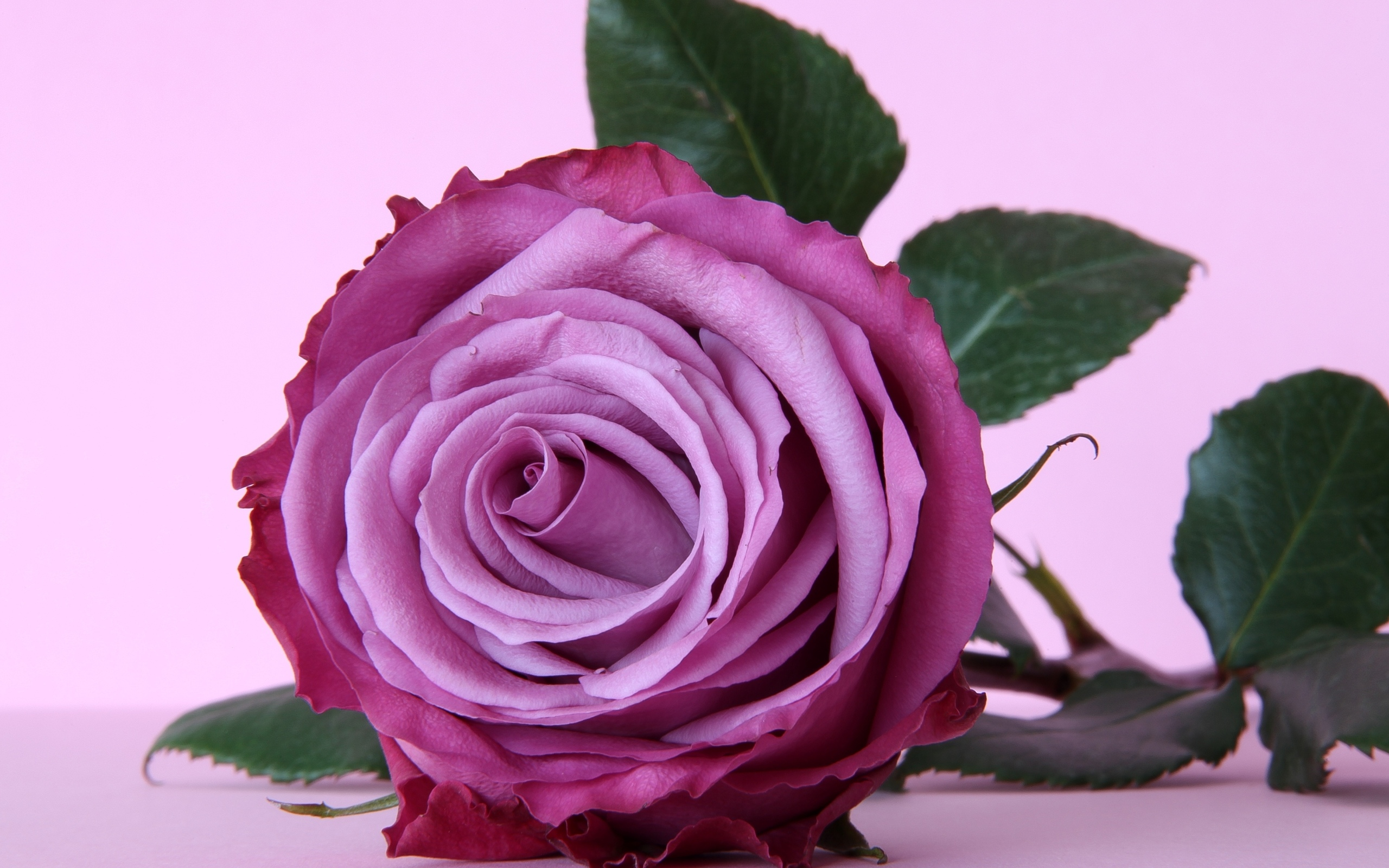 Обои для рабочего стола необычные розы
