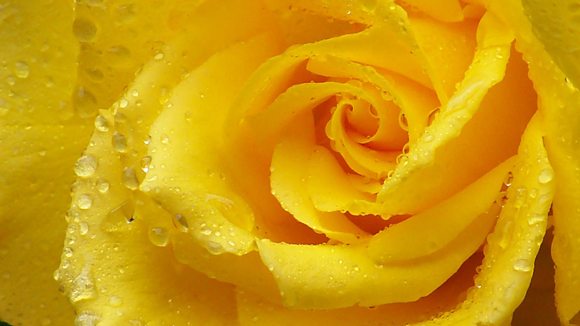 зимостойкий обои желтые розы цвет, размер все