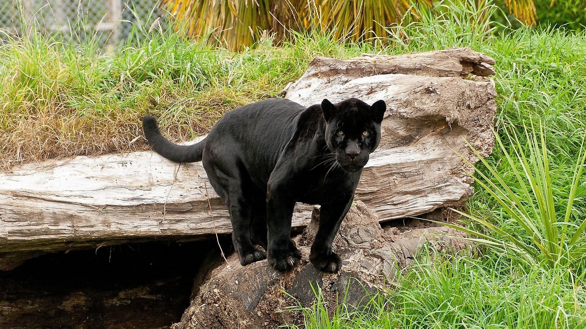 картинки с изображением черной пантеры позе