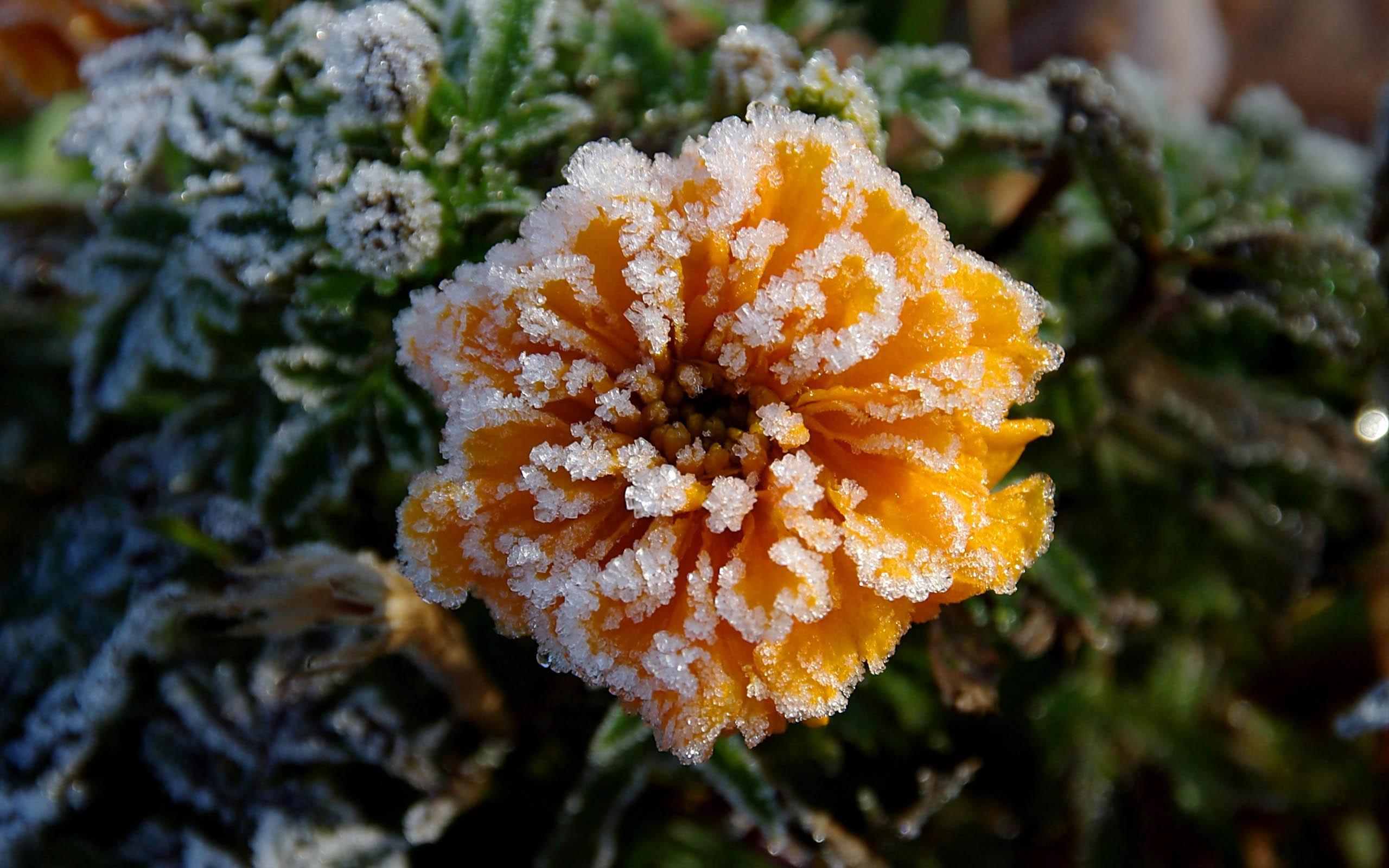 Обои цветок, цветы, иней, обои, Мороз. Макро foto 15