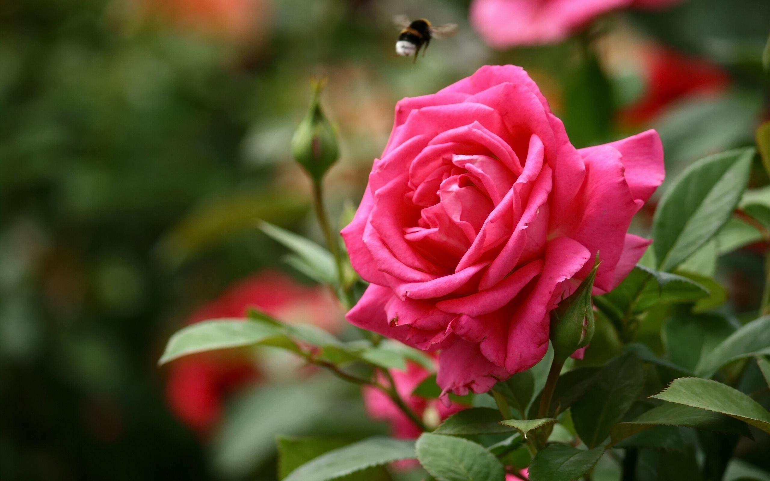 Картинки розы высокое качество