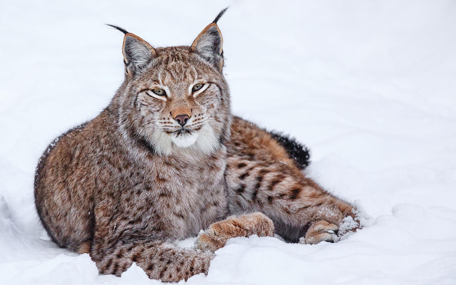 находится рысь сибирская фото животного касается личной жизни