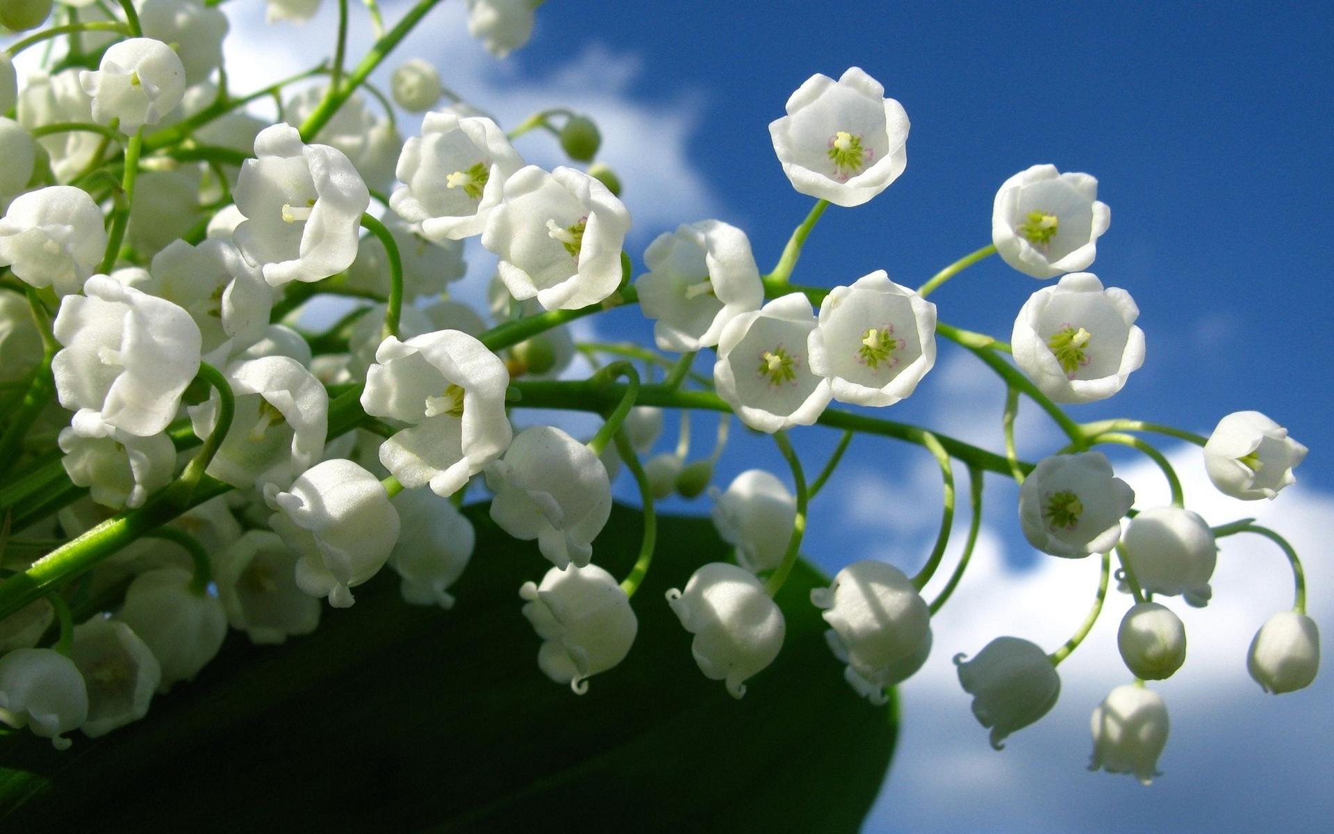 Обои ландыши, елые, цветы. Цветы foto 19