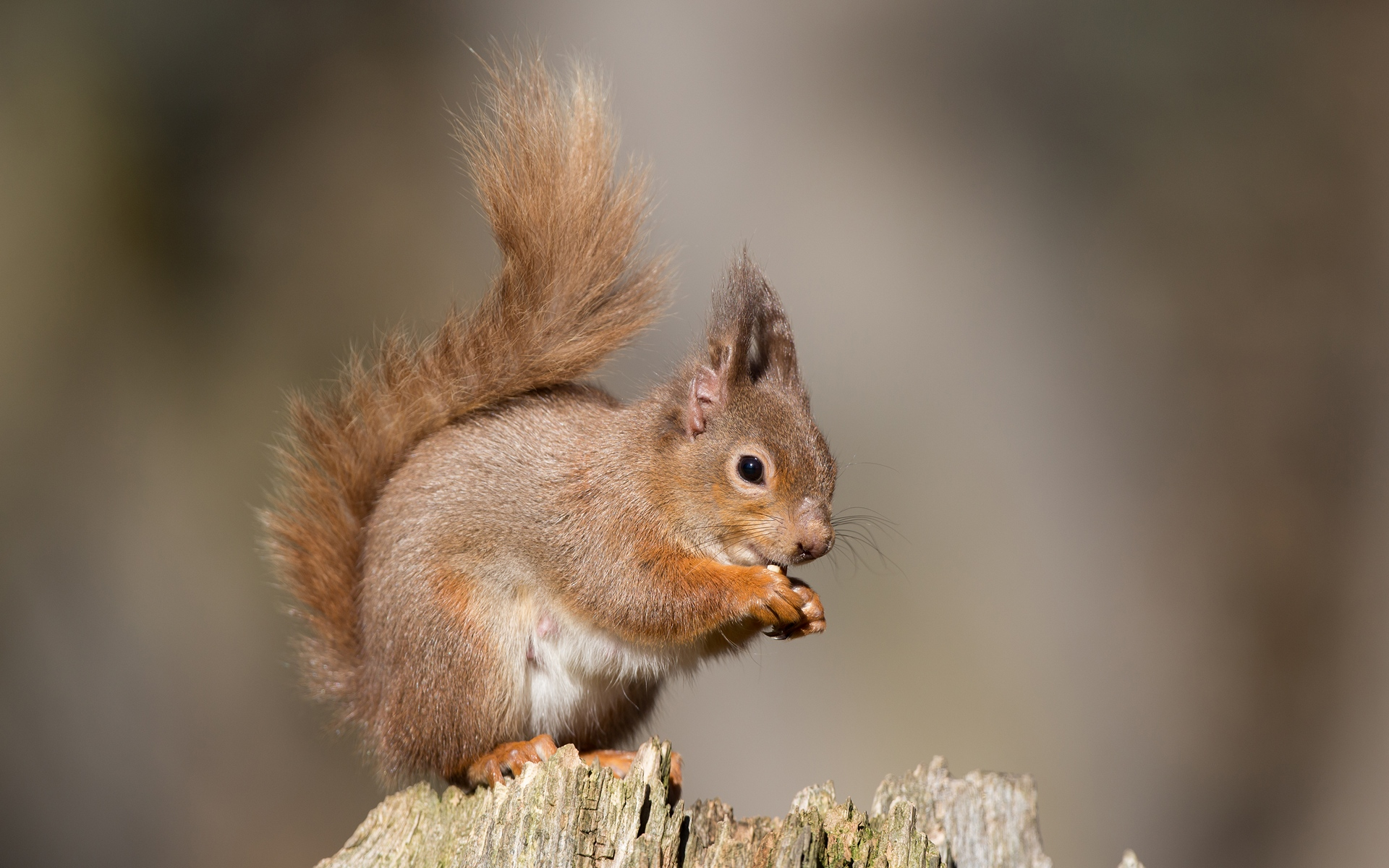 природа животные белка nature animals protein  № 1115644 загрузить