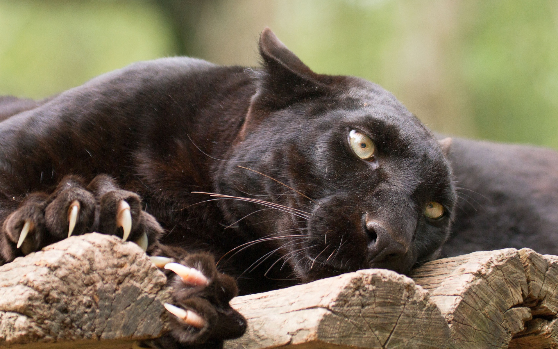 певец картинки черных котов пантер черкасская