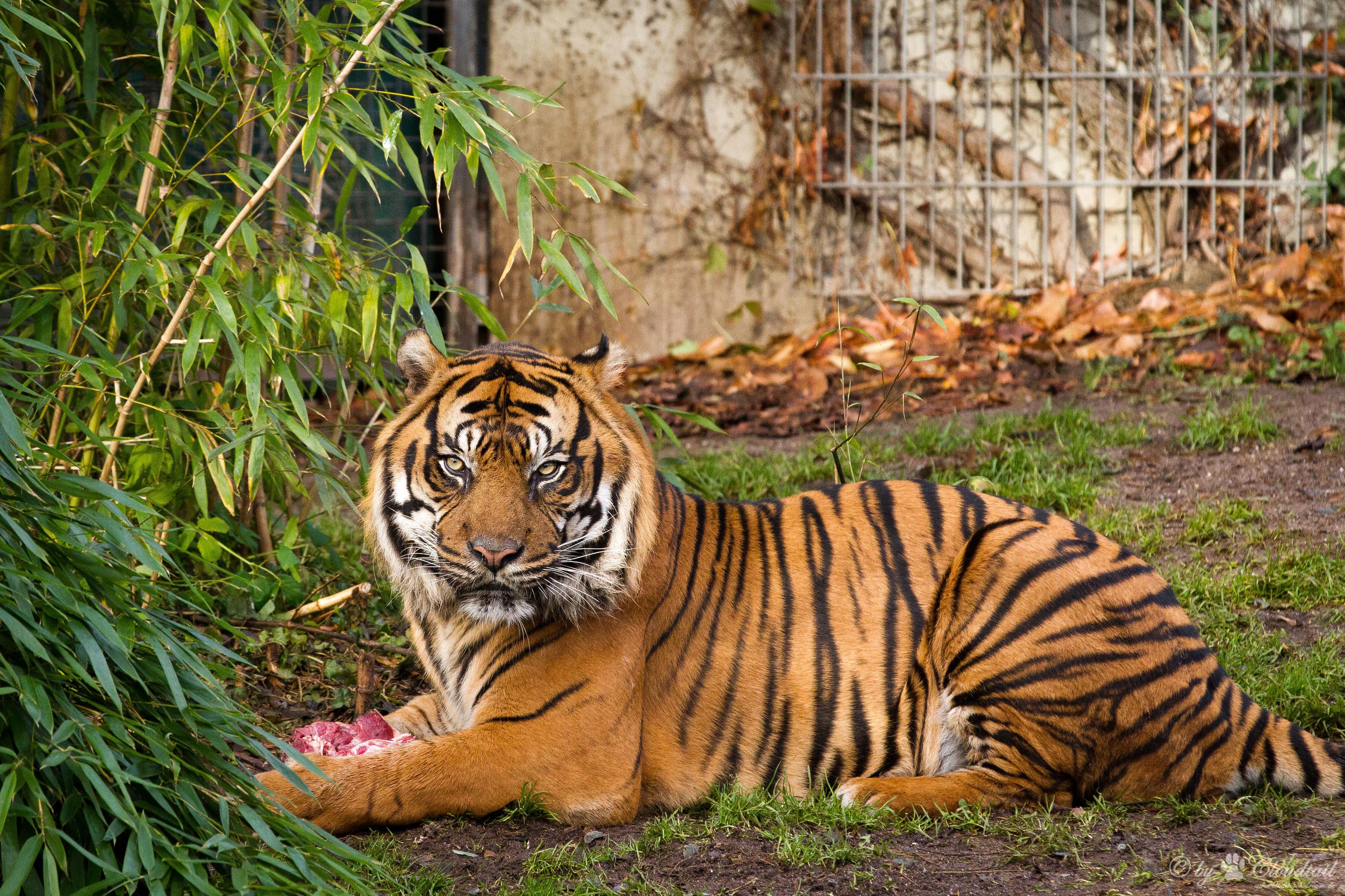 Картинка тигра фото