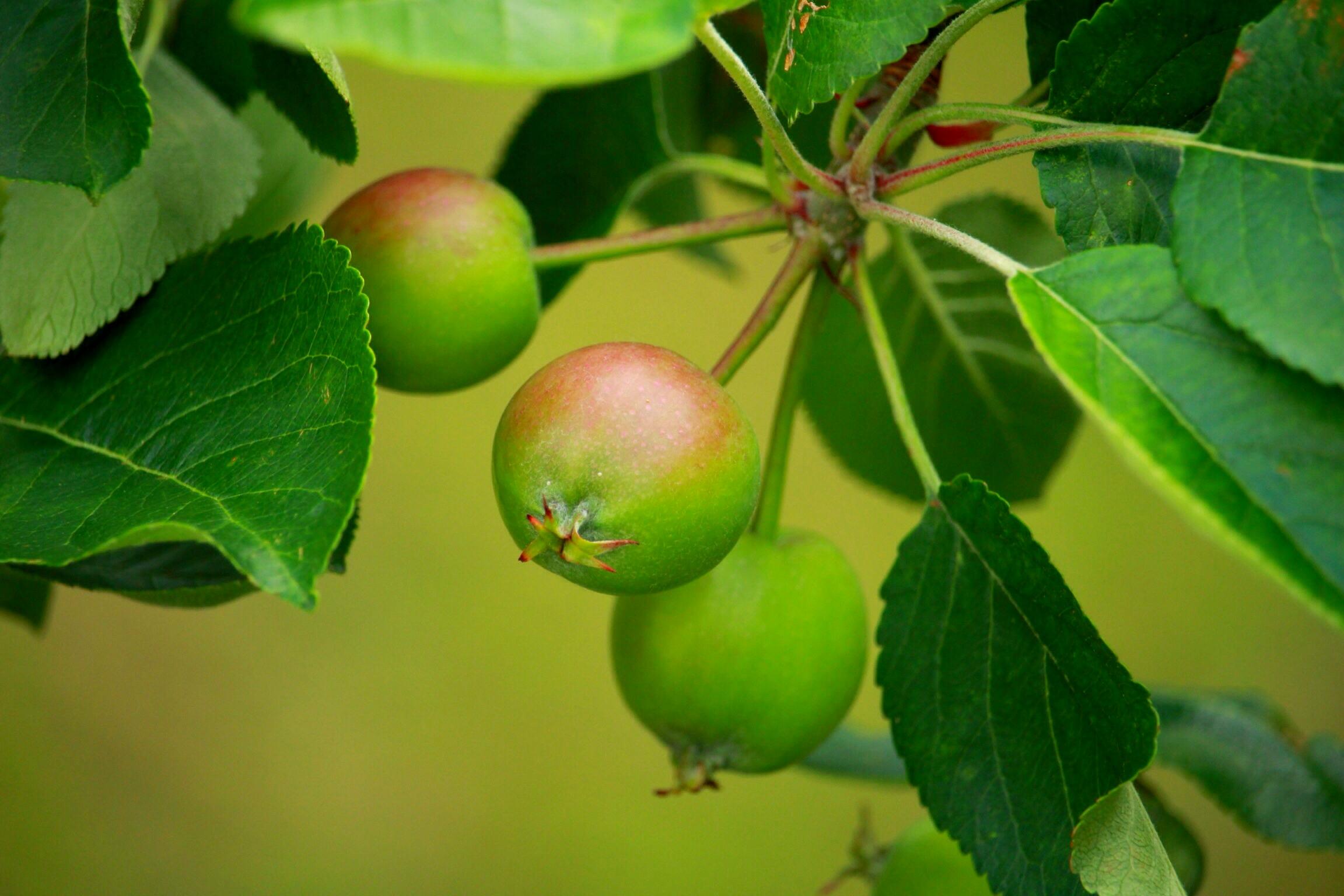 листья яблони картинки витражная пленка