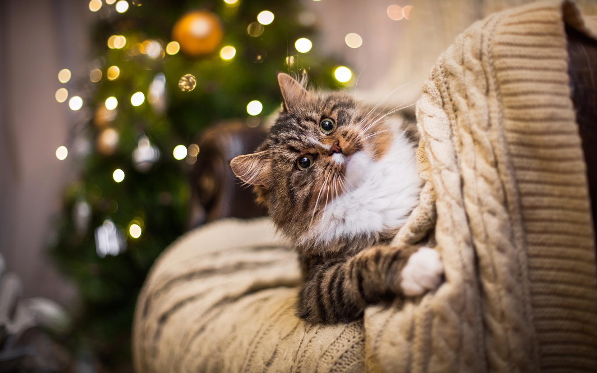 Новогодние кошки картинки на рабочий стол