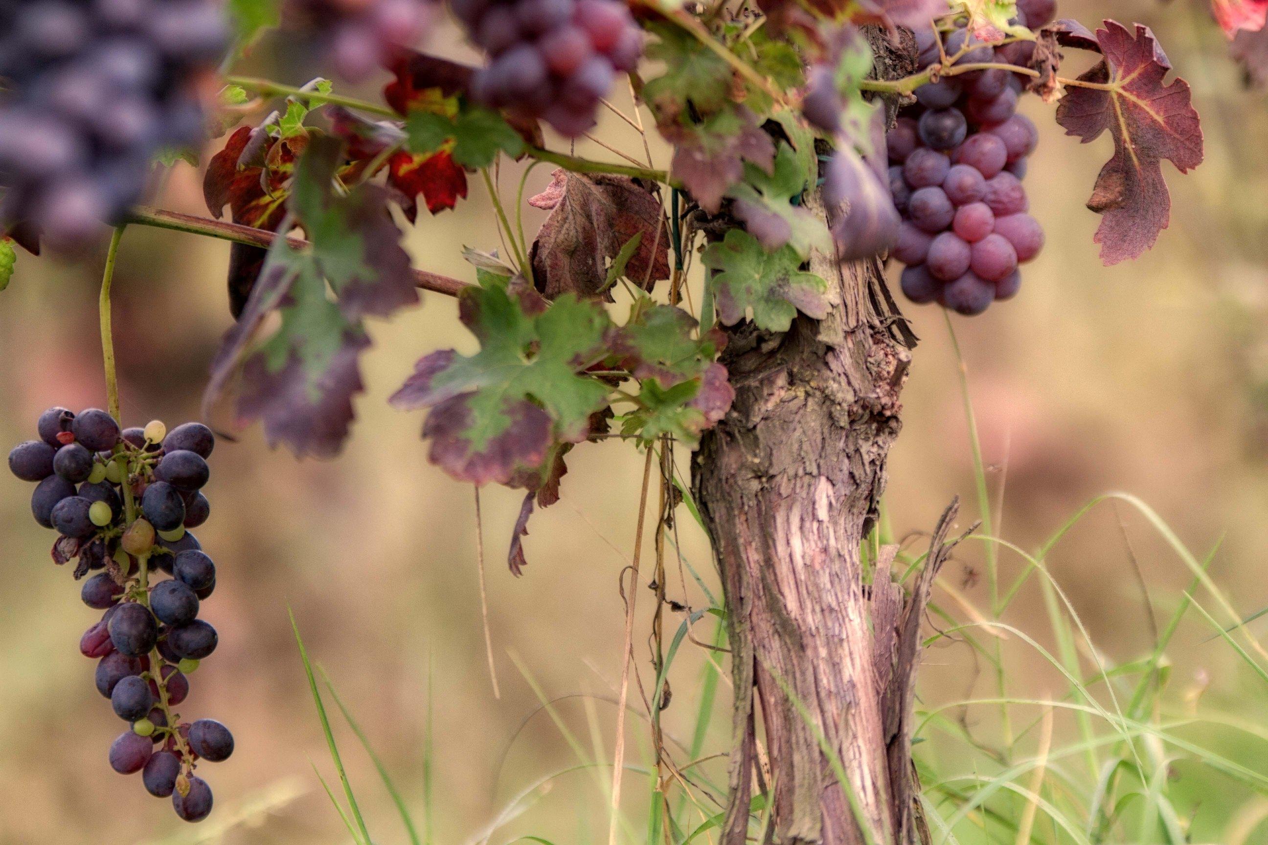 мож красивые картинки виноградной лозы что русский язык