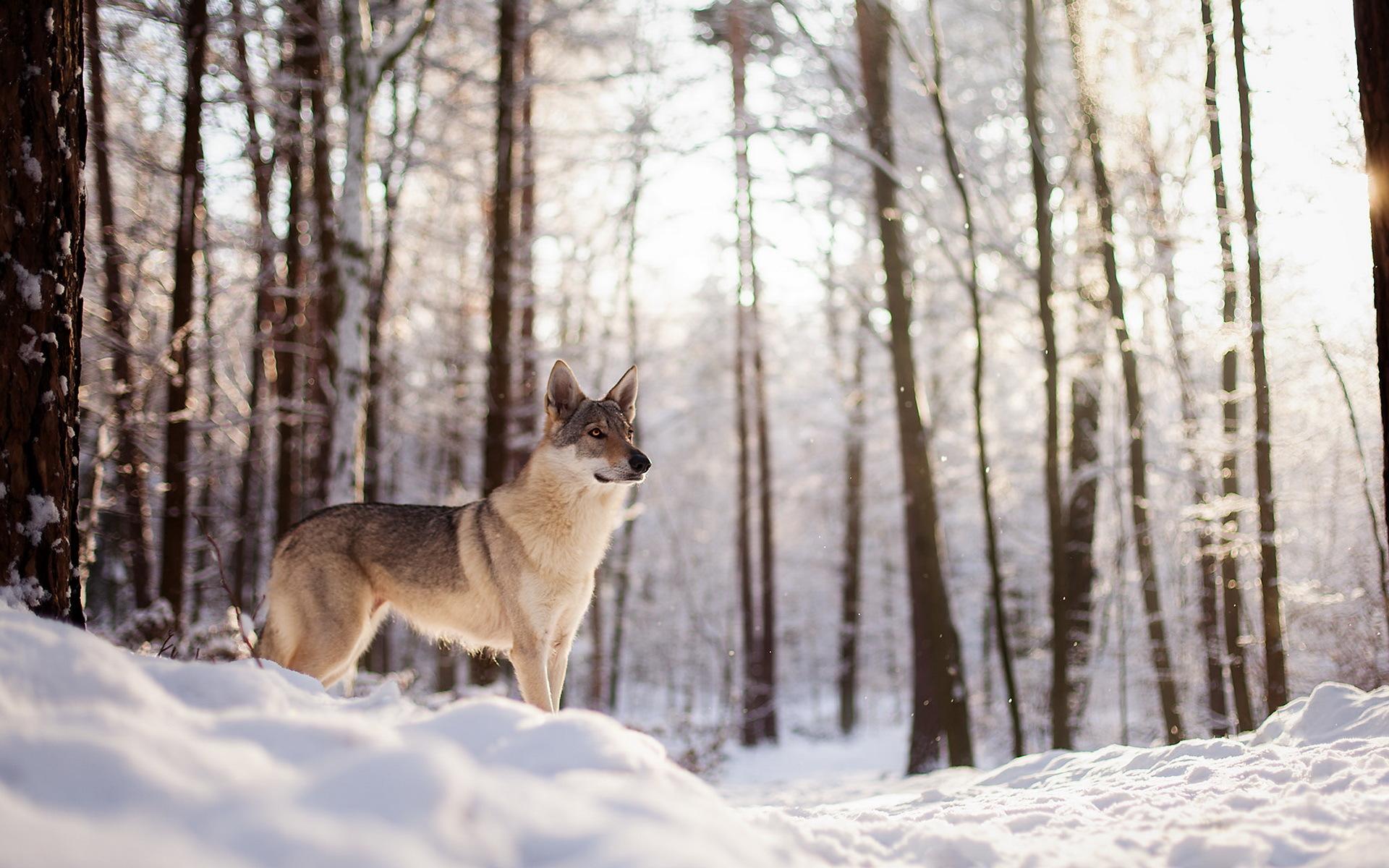 симферополь, картинка лес волк снег чем заводить