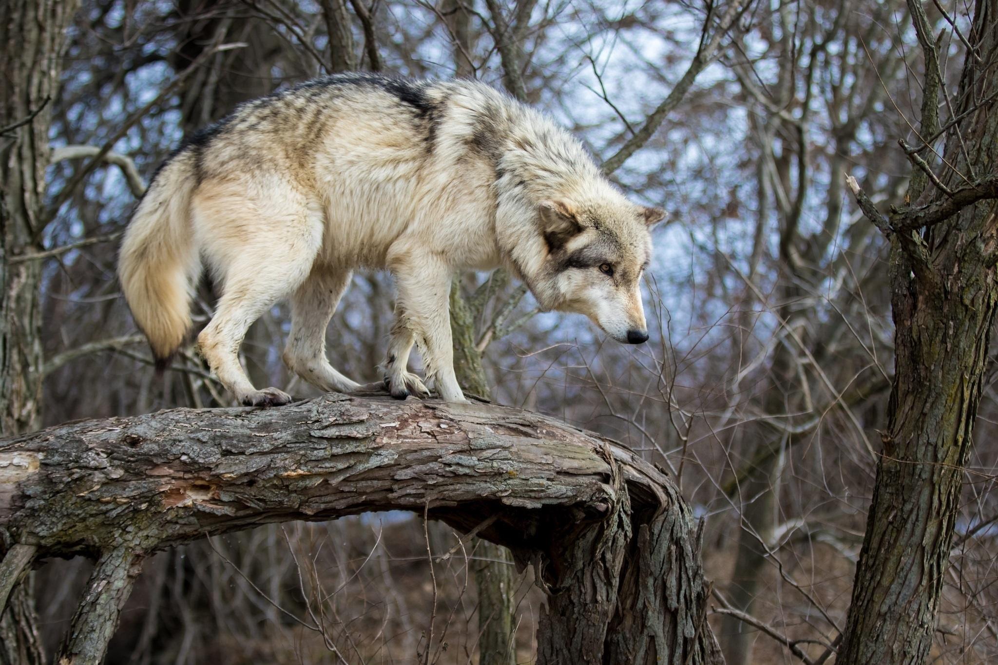 очень необычные картинки волков фото