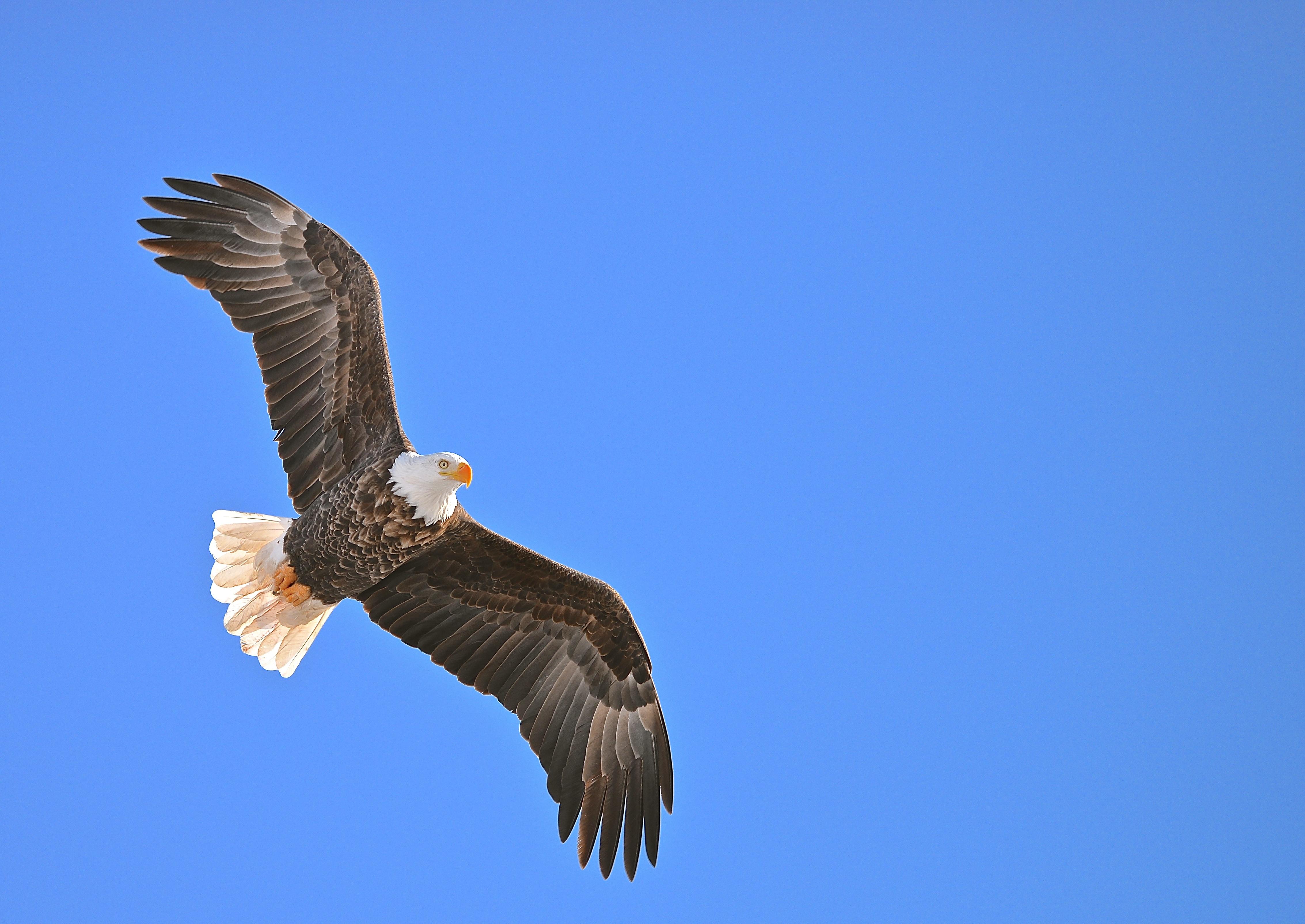 вариант фото и картинки парящего орла числе других