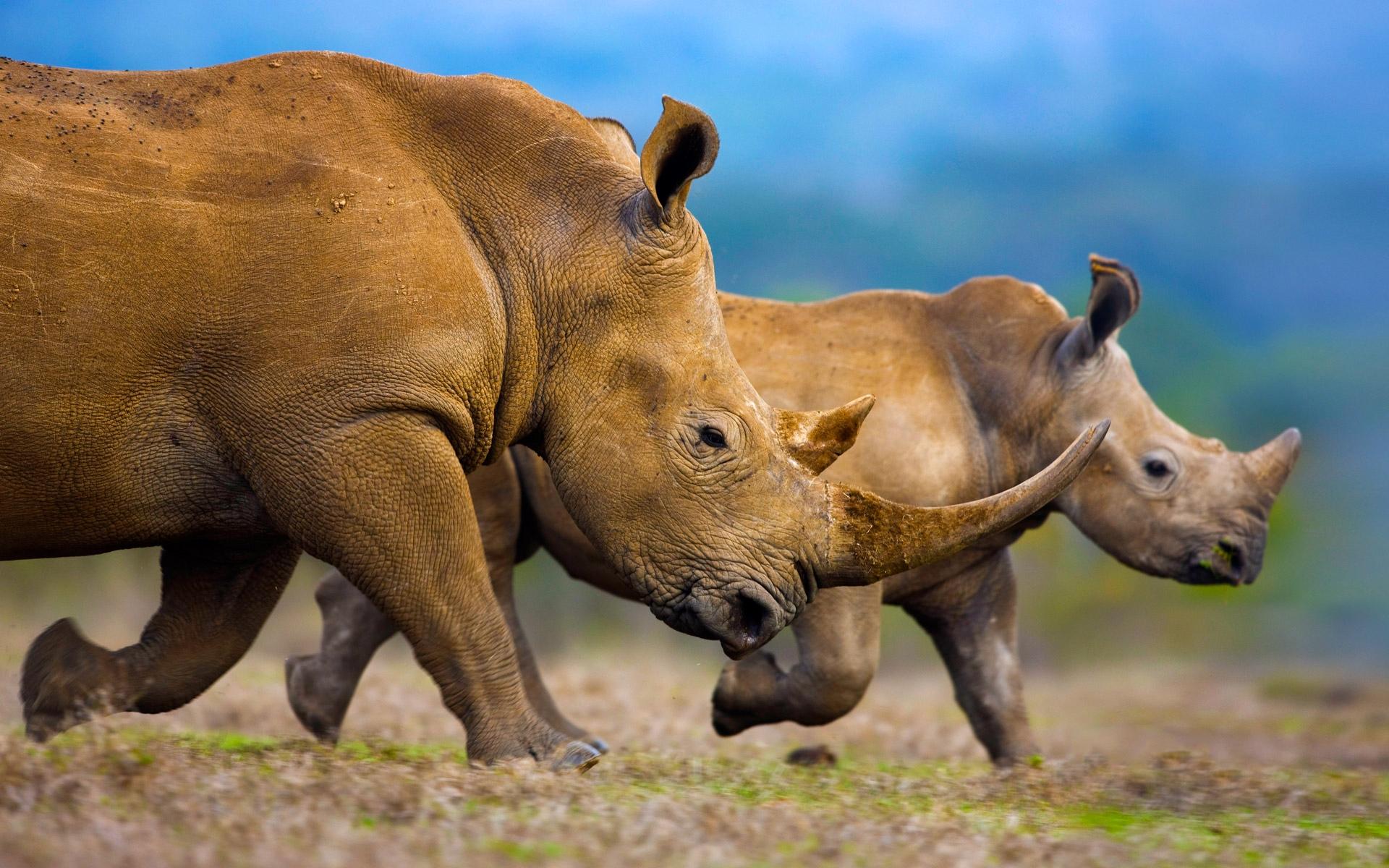 атрибут носорог в картинках всем этим фактам