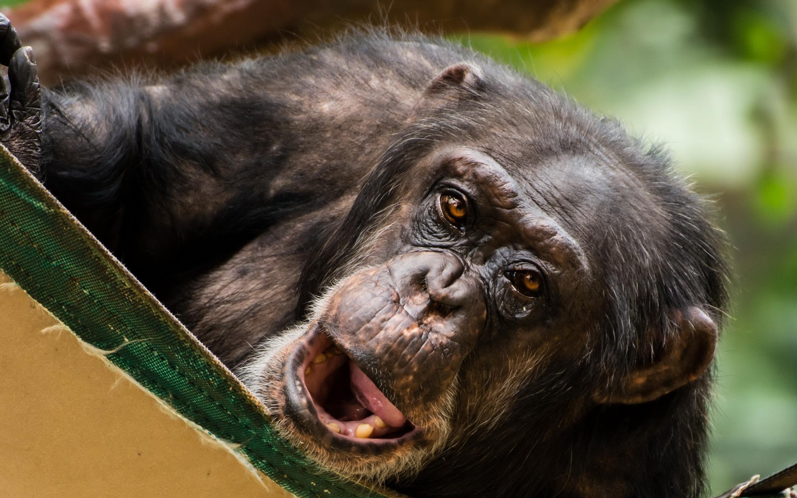 обезьяны на столе картинка зря