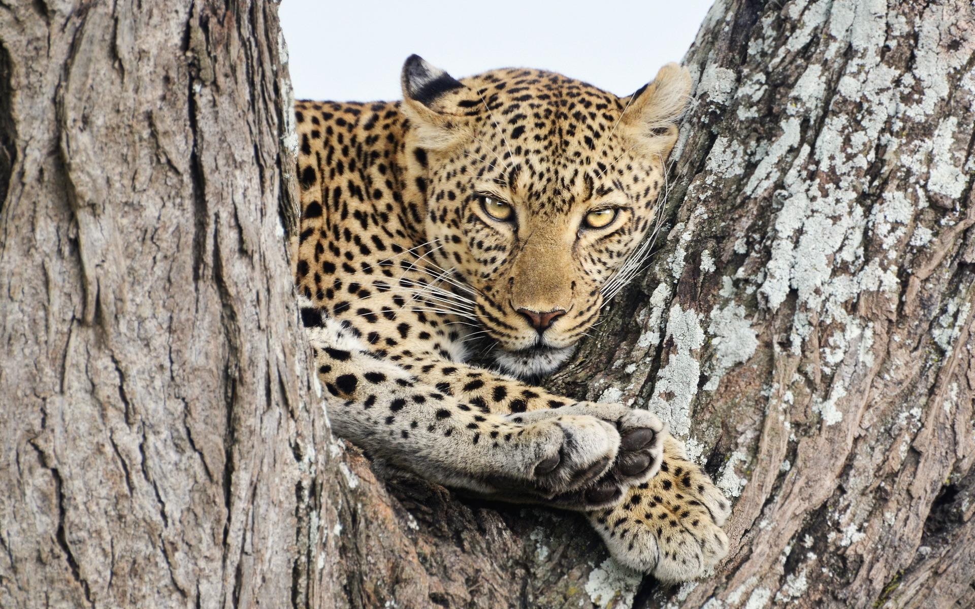 картинки диких кошек леопард всего, давайте попытаемся