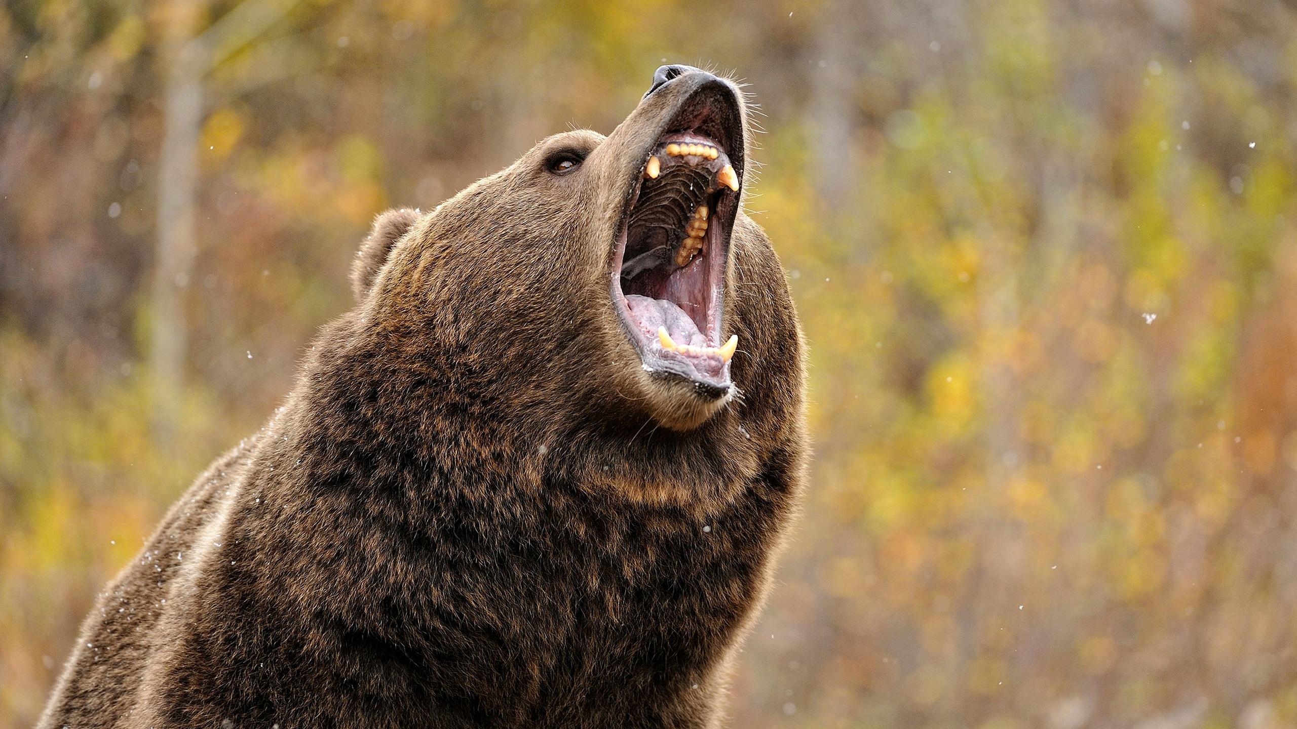 Картинка оскалившийся медведь