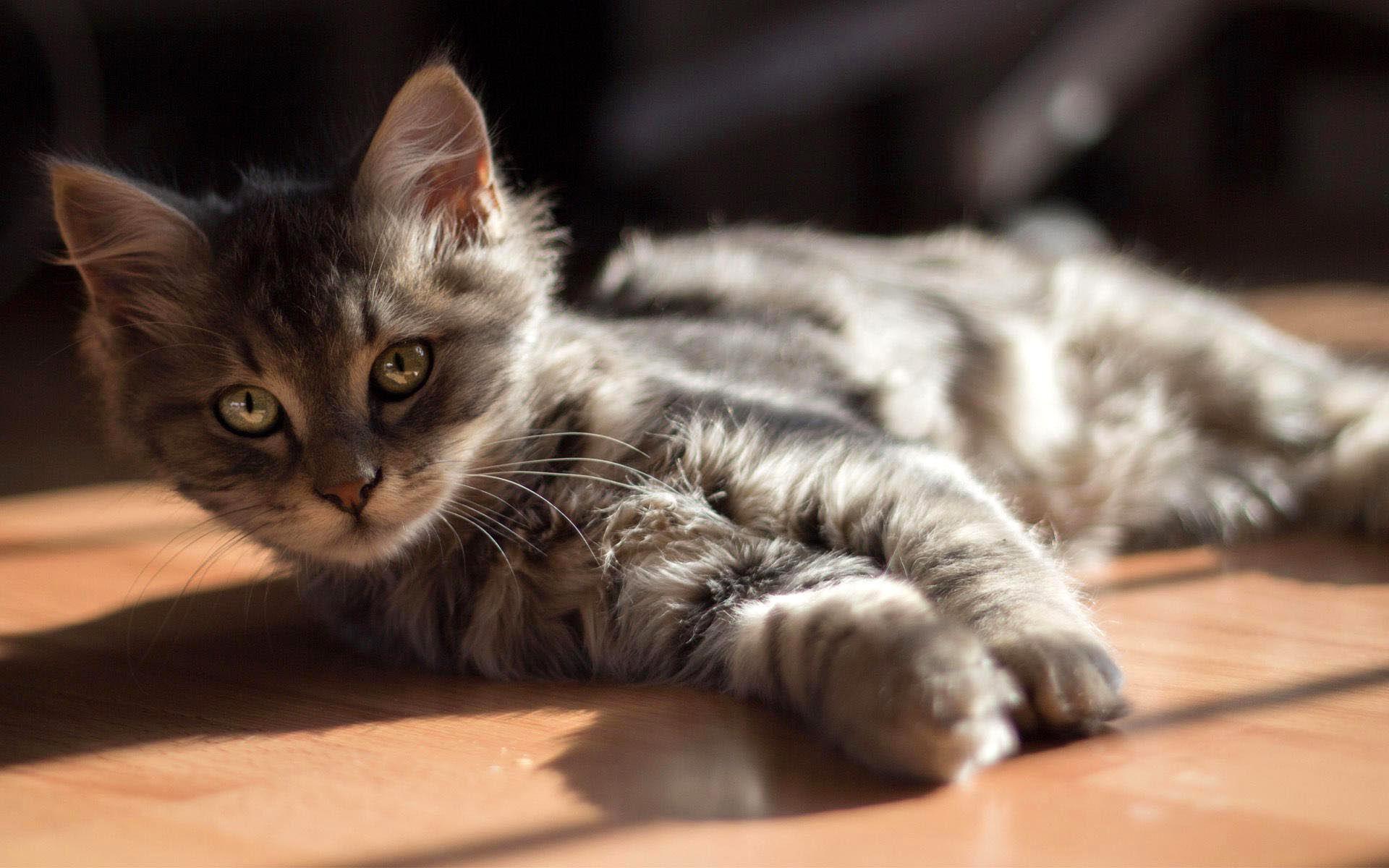 котенок дымчатый kitten smoky  № 2344470 загрузить