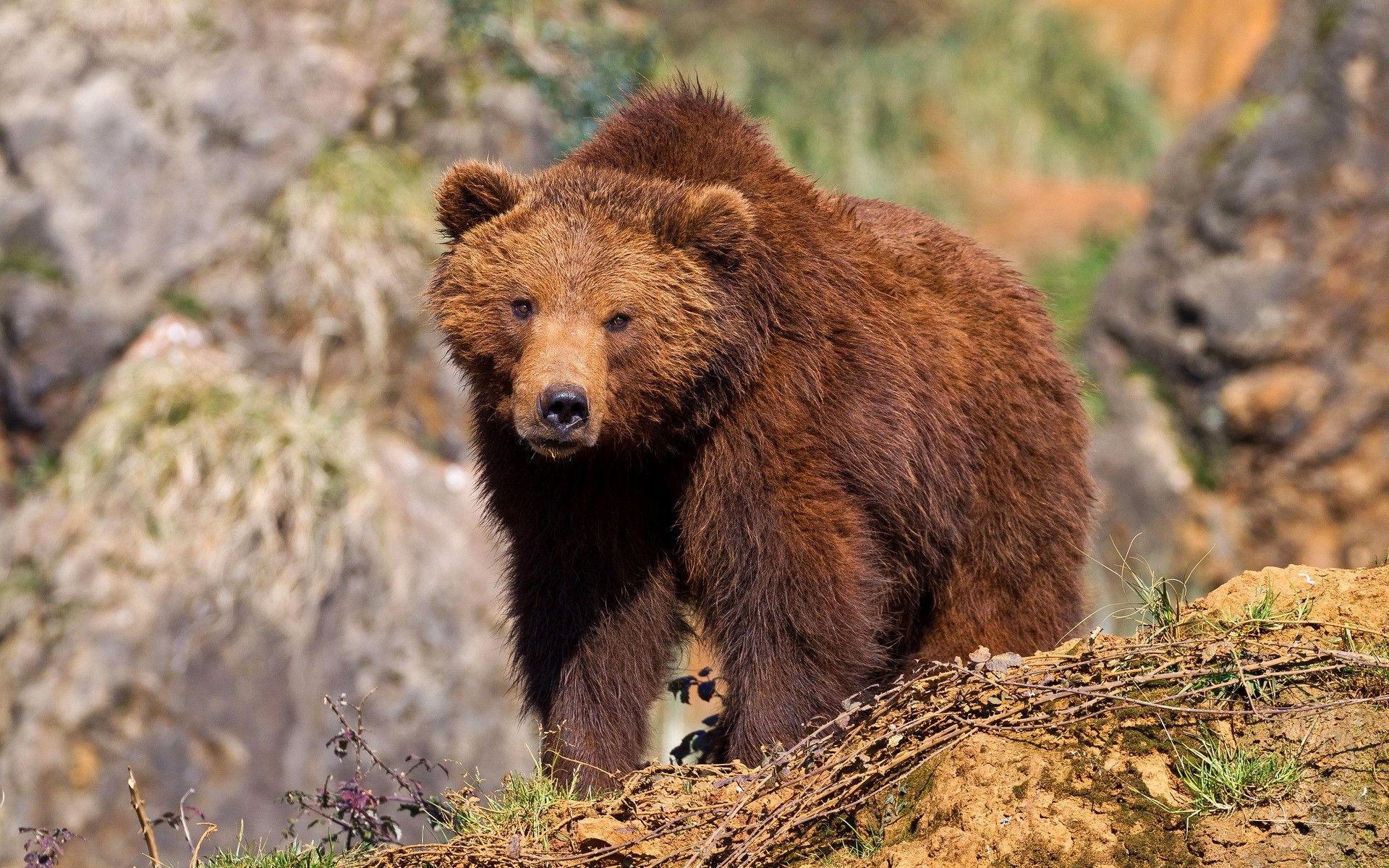Открытка медведя бурого
