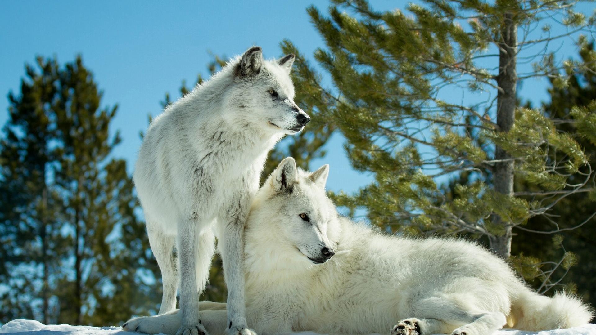 Волки картинки для рабочего стола