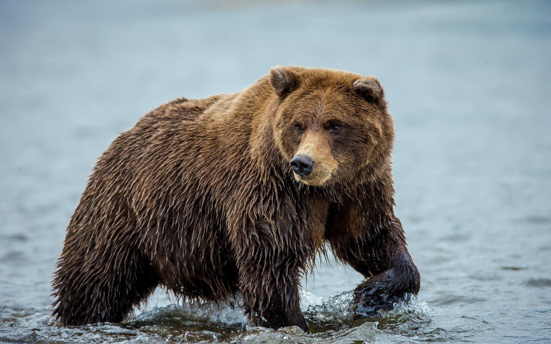идущий медведь картинка тулеев заявил