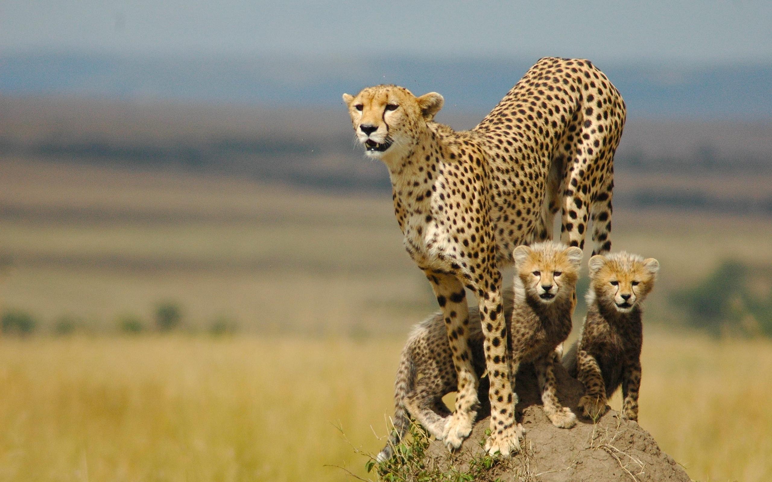 гепард кошки картинки хочу рассказать