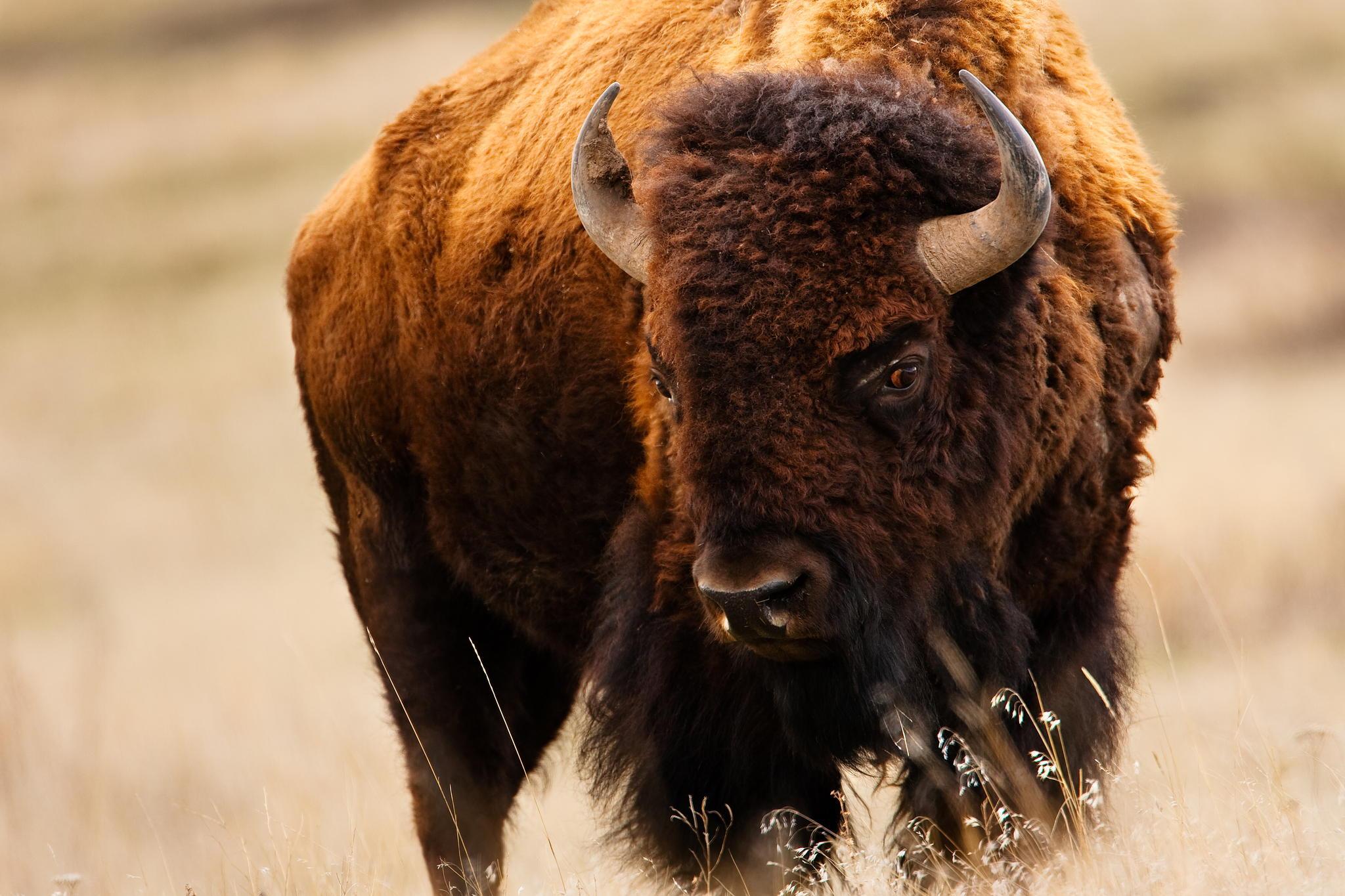 животное бизон картинки таким