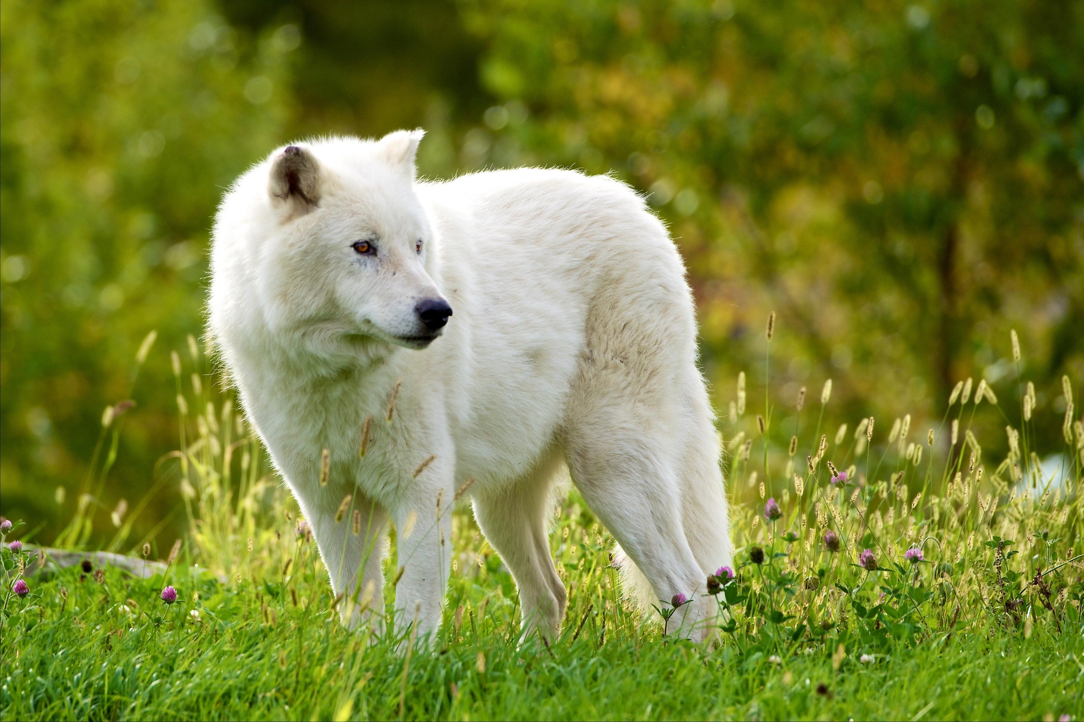 них, белый волк фото и картинки отзывчивые