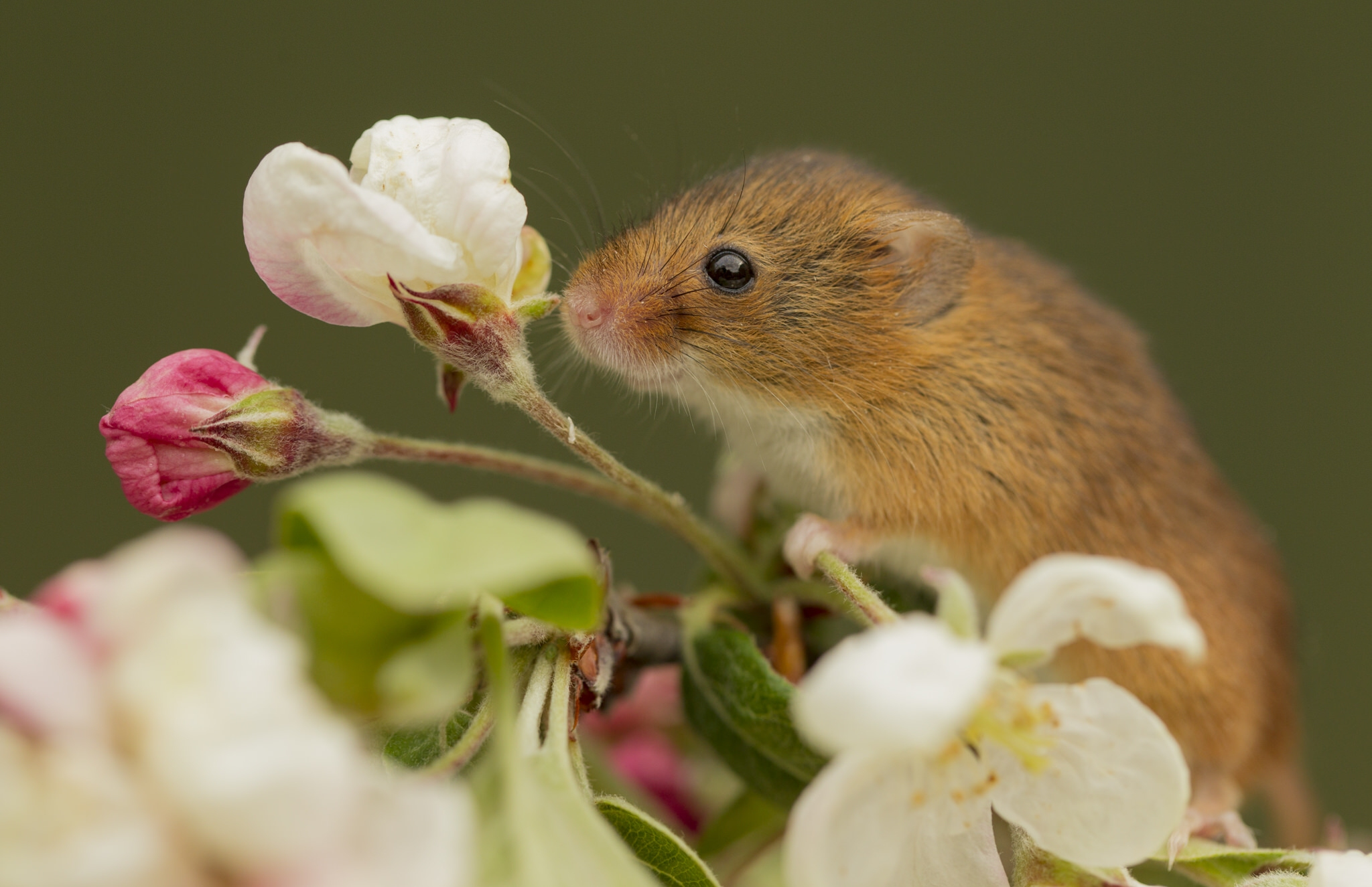 картинка красивого мышонка никогда жизни пробовали
