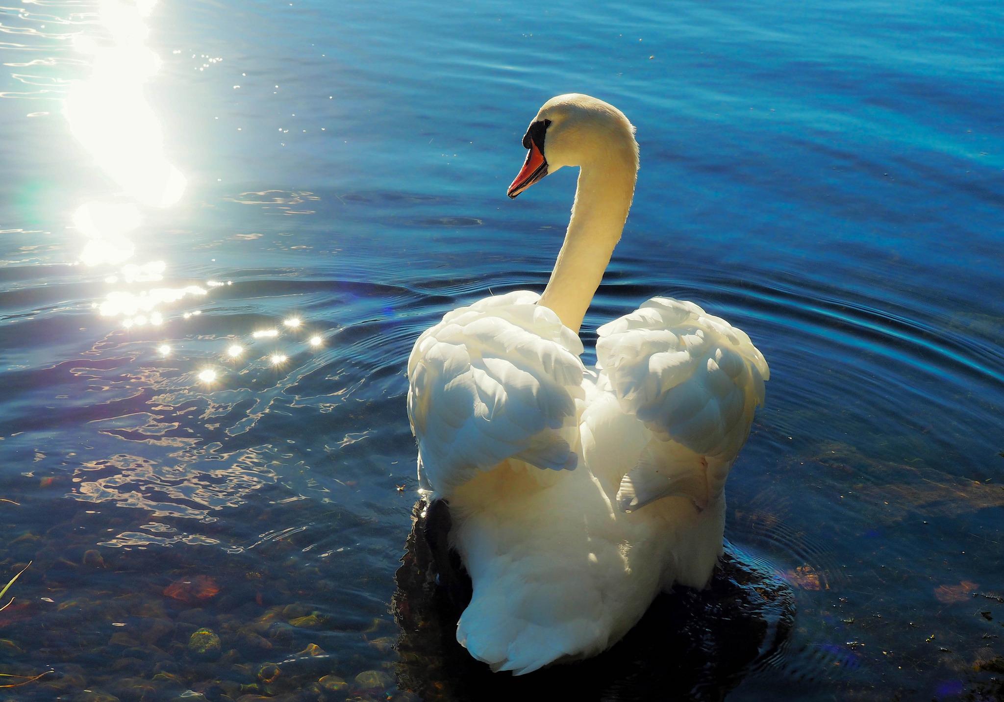 фото открытки лебедей или