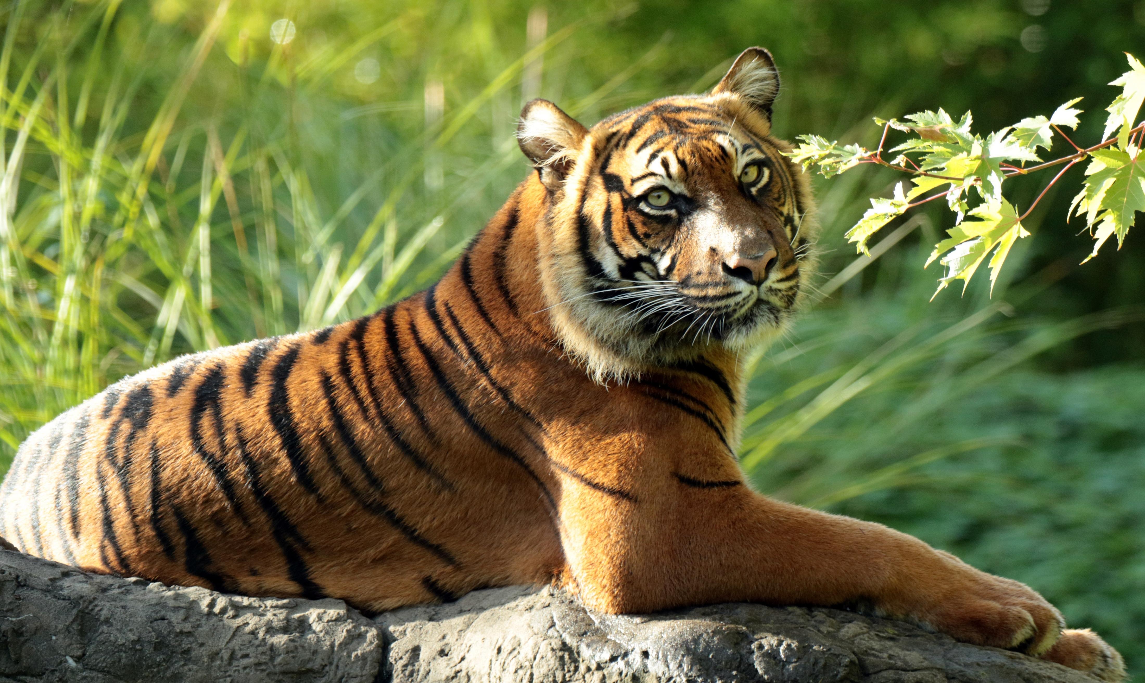 тигр картинки фотографии понарошку ест мясо