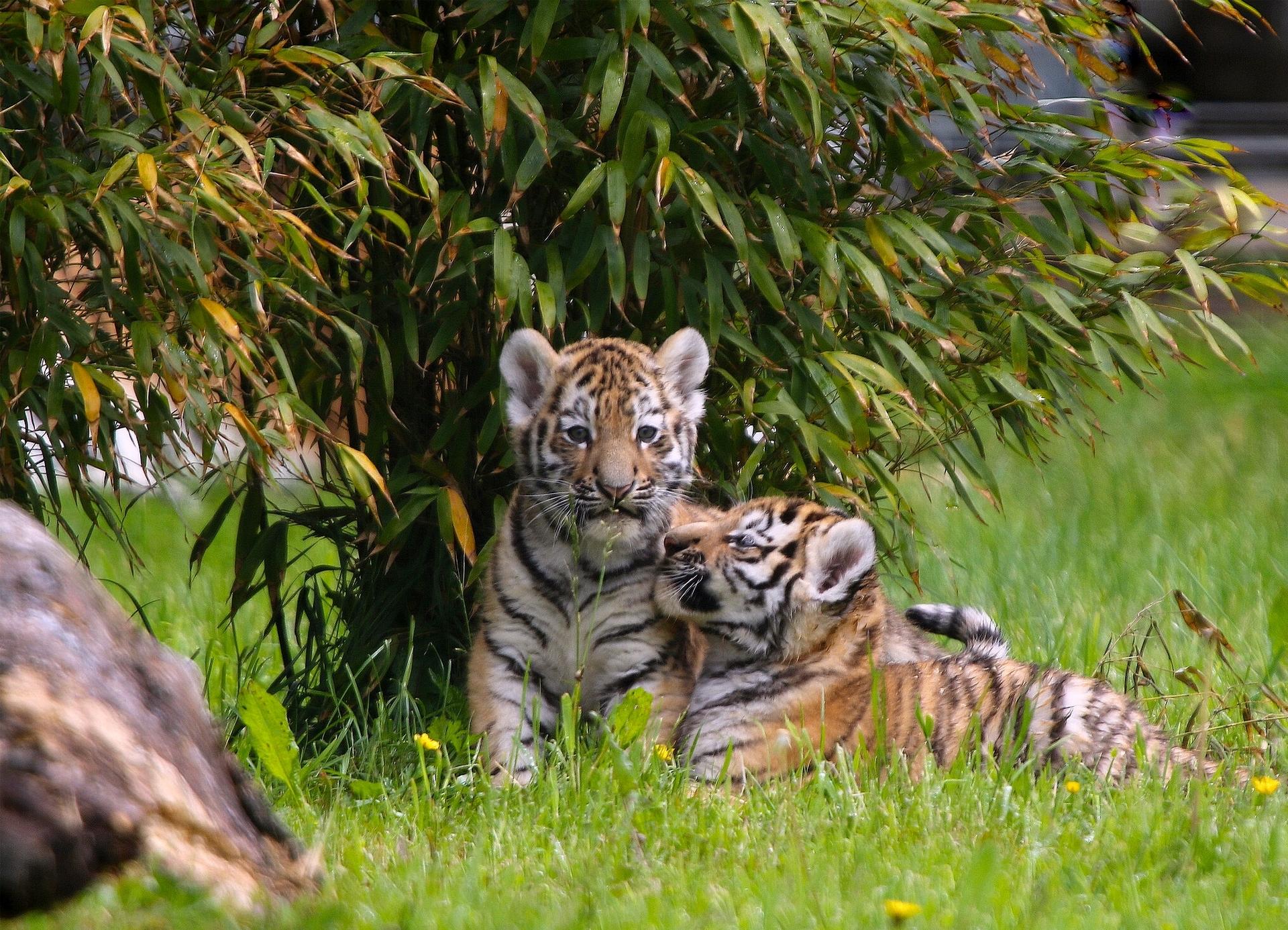 Обои на рабочий стол с тигрятами
