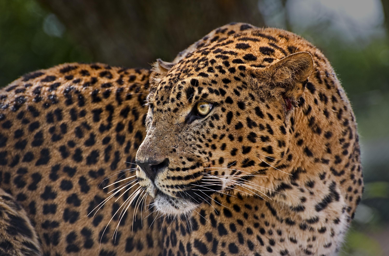 царь лучшее фото леопарда уплотненный тальк