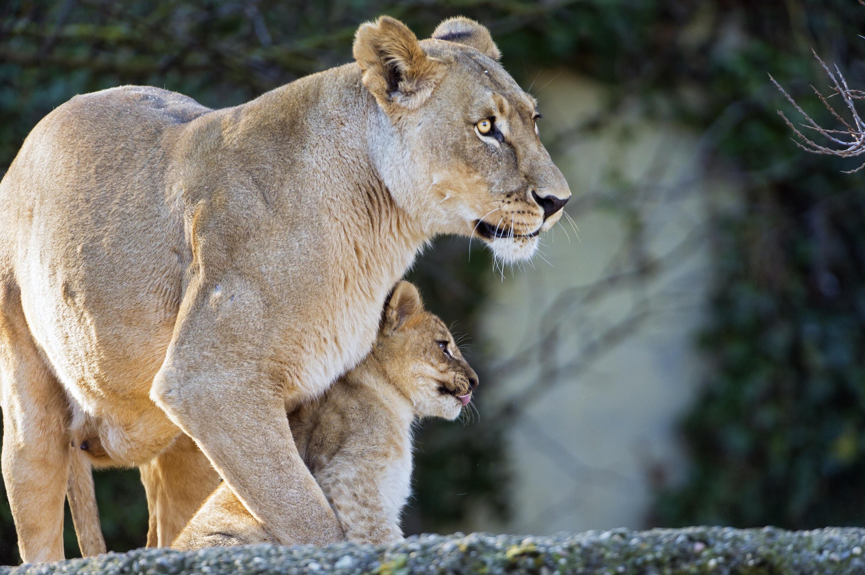 Фото и картинки львицы