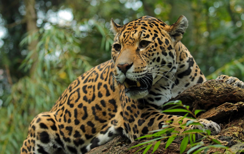 Обои дерево, морда, дикая кошка, Хищник, взгляд, Yaguar. Кошки foto 14
