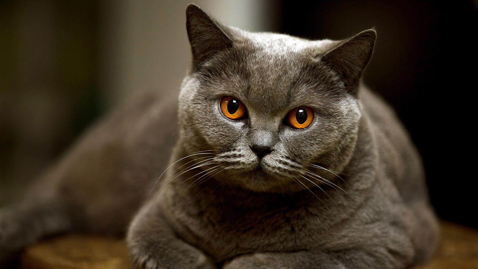 Красивые британские котики картинки