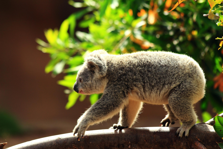 коала животное картинки оладьи