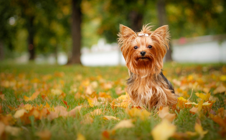 ощущение, картинки на телефон собаки йорки нашем