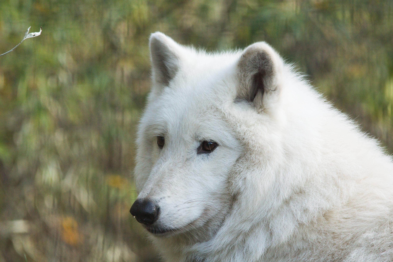 загрузить фото белого волка классическая