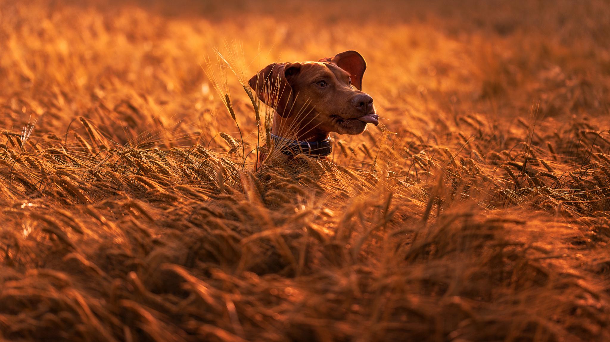 природа животные собака голова загрузить
