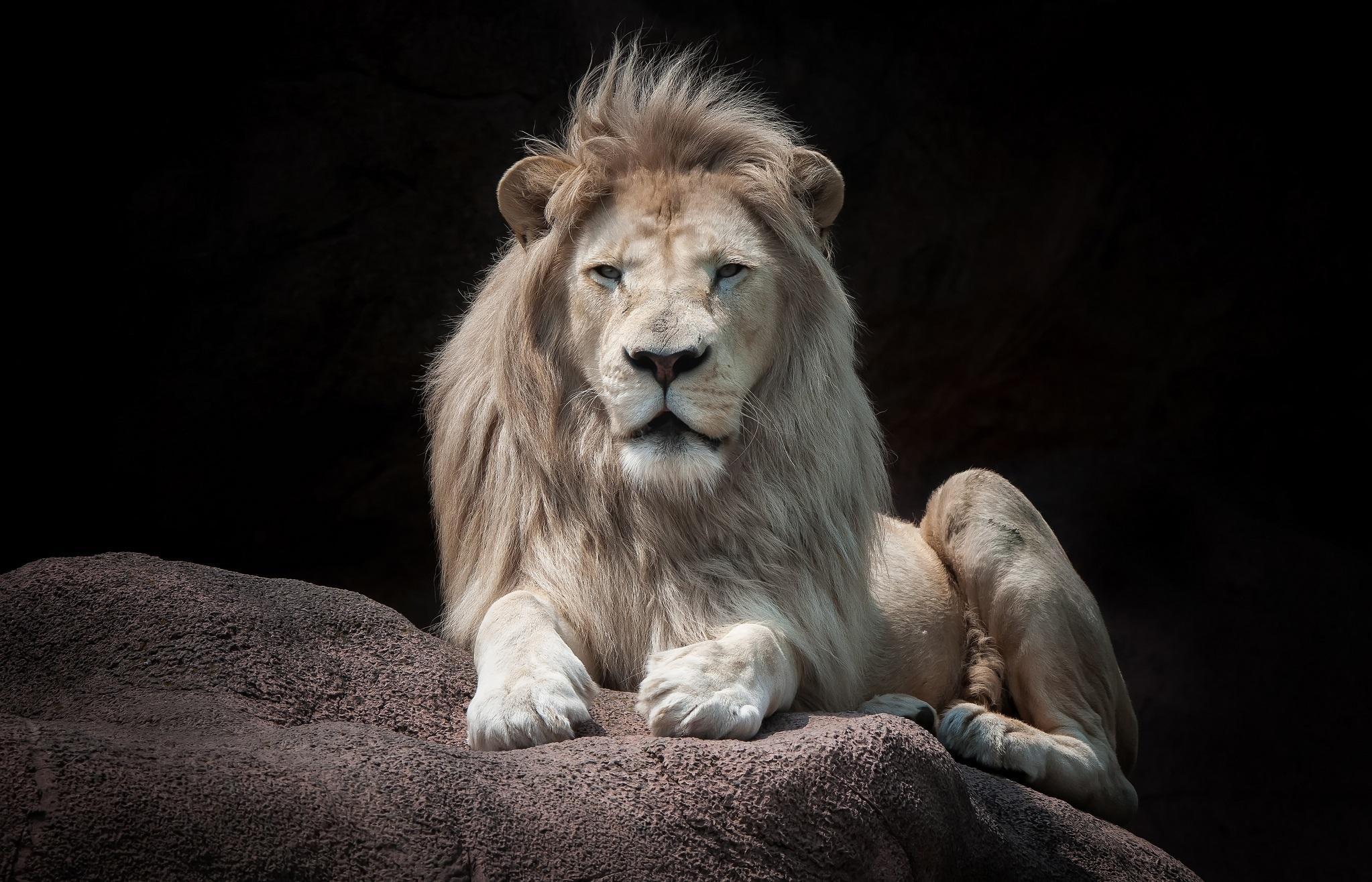 объявление картинка сидящий лев мир