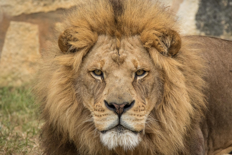 Картинки высокое разрешение лев