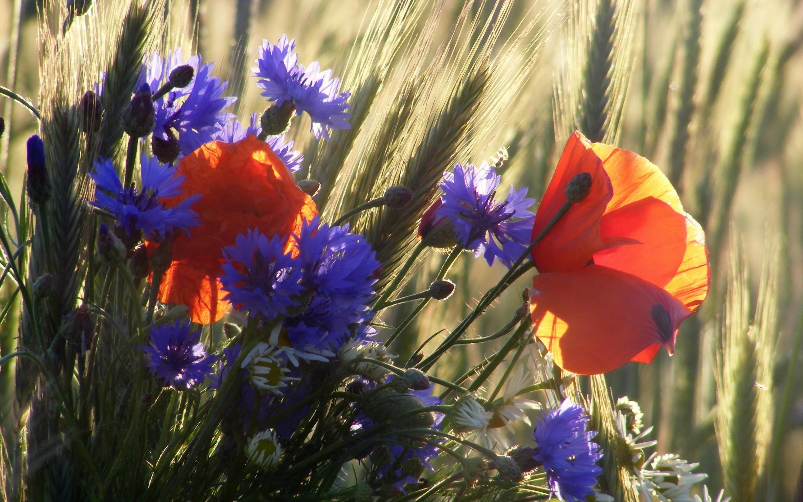 Красивые картинки полевых цветов на рабочий