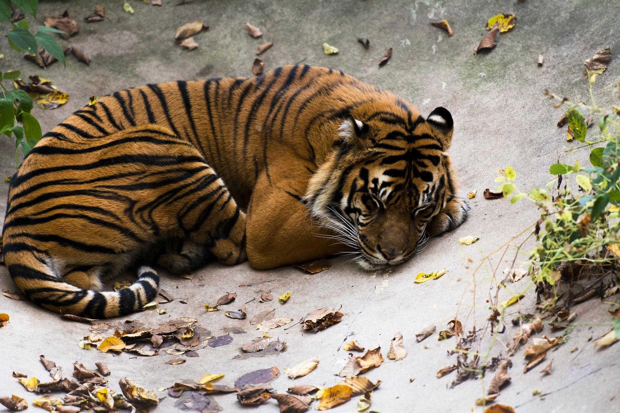 картинки спящие тигрята британском соборе