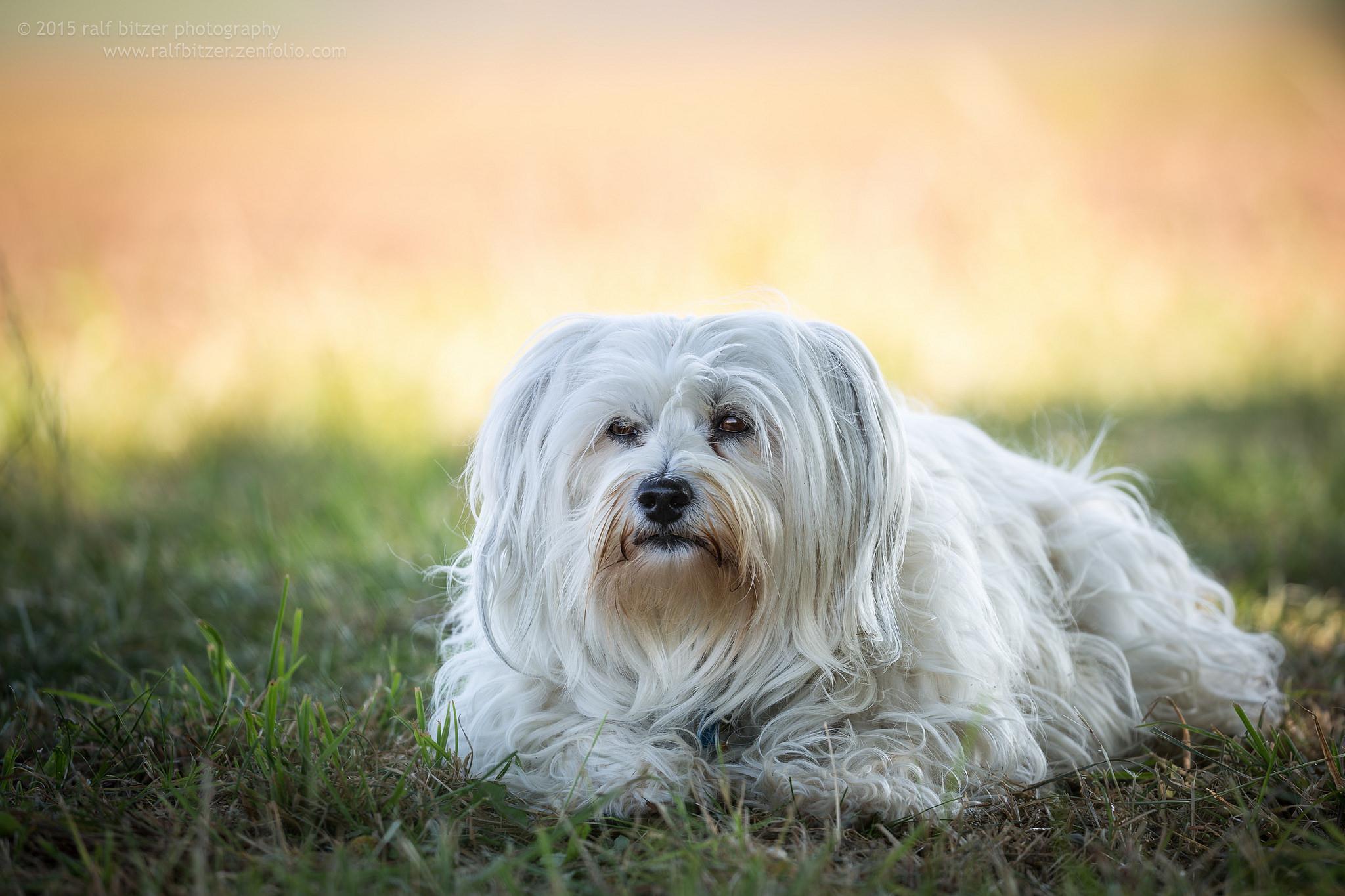 Картинки породы собак болонка