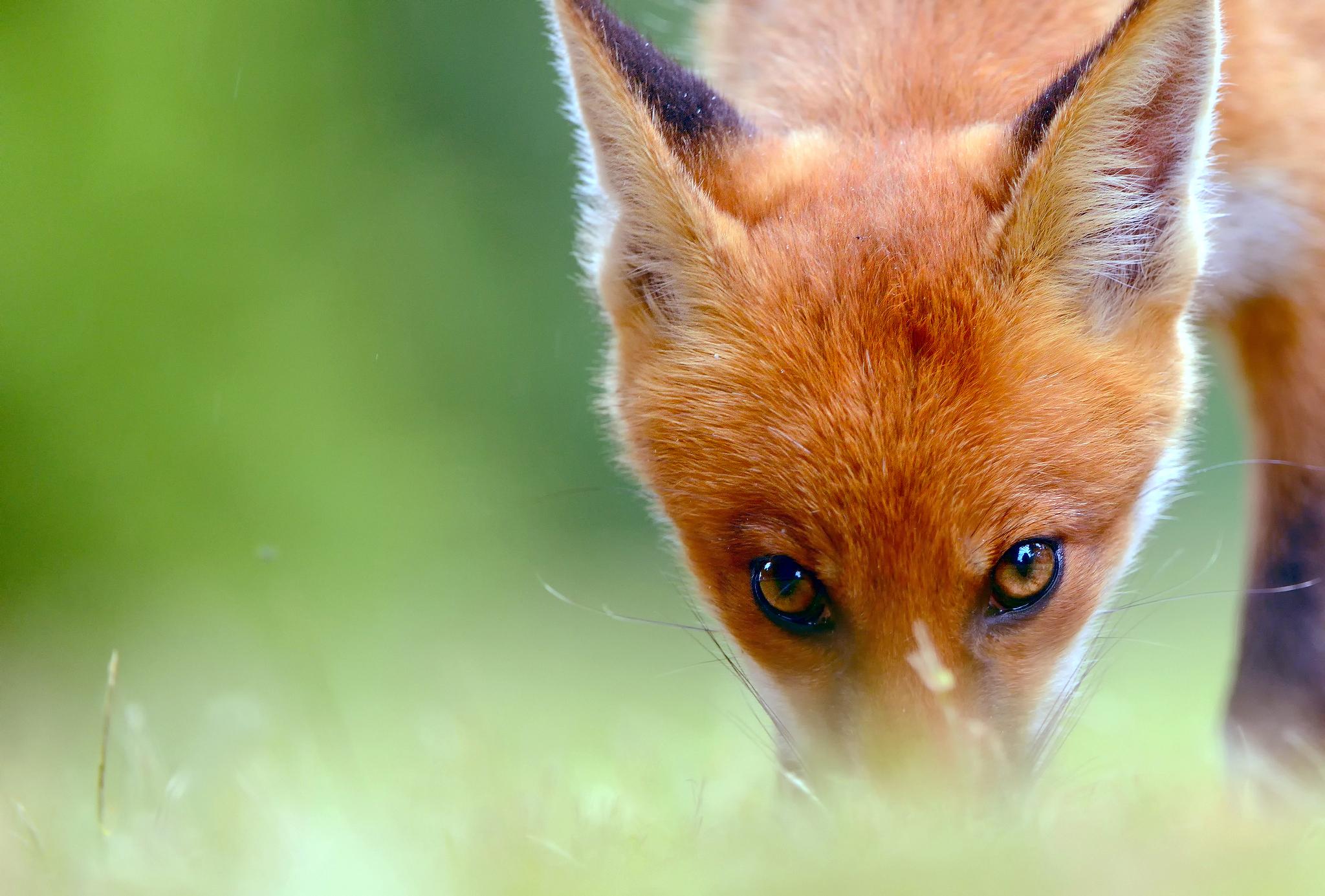 картинки с изображением лисицы другой
